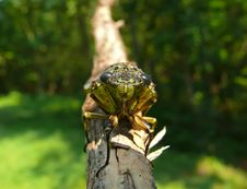 Free Cicada (Tibicen Bichamatus) 6 Royalty Free Stock Photos - 5491528