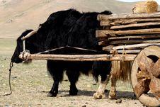 Free Yak Taxi, Mongolia Stock Image - 5491551