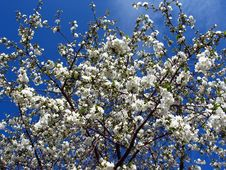 Free Cherry Tree Royalty Free Stock Images - 5492149
