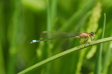 Free Delicate Damselfly Stock Photography - 5493282