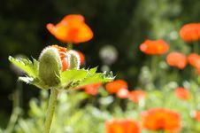 Free Poppybud Royalty Free Stock Photography - 5493367