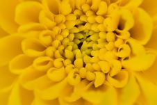 Free Single Yellow Chrysanthemum Royalty Free Stock Image - 5493386
