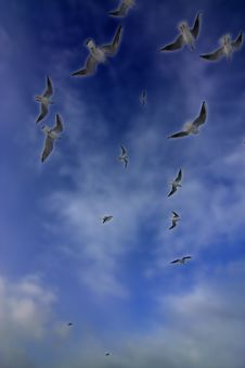 Free Group Of Flying Seagulls Stock Images - 5493464