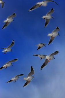Free Group Of Flying Seagulls Stock Photography - 5493492