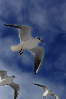 Free Seagulls Stock Images - 5493604