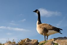 Free Canadian Goose Roosting During Migration Stock Photo - 5493880