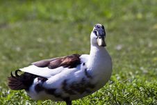 Pretty Duck Stock Photography
