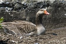 Free Goose On Nest Stock Photo - 5493920