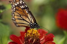 Free Monarch Butterfly Stock Images - 5494764