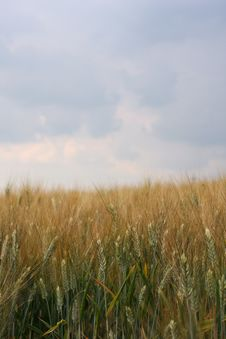Free Corn Field Royalty Free Stock Photography - 5494787