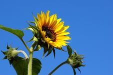 Free Bright Fresh Sunflower With Buds Royalty Free Stock Images - 5496019