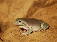 Free A Cute Frog Royalty Free Stock Image - 5496066