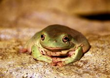 Free A Cute Frog Royalty Free Stock Photography - 5496077