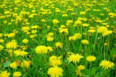 Free Dandelions Royalty Free Stock Photos - 5496598