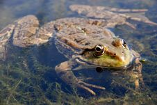 Free Green Frog In The Water Stock Images - 5496674