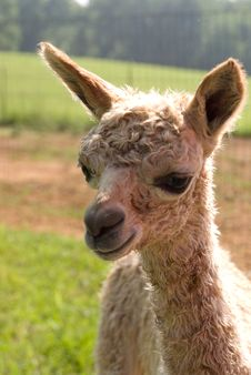 Free Suri Alpaca Cria Royalty Free Stock Photo - 5496755