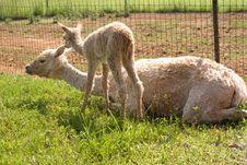 Free Suri Alpaca Cria And Mother Royalty Free Stock Photo - 5496765