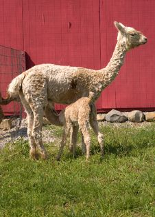Free Suri Alpaca Cria Nursing From Mother Royalty Free Stock Images - 5496769