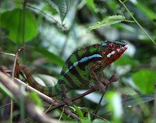 Free Chameleon Stock Image - 5496781