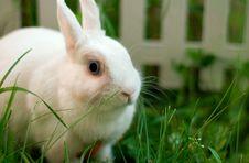 Free White Rabbit Stock Photos - 5498013