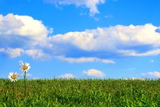 Free Shasta Daisies In Green Grass Against Blue Sky Stock Image - 5499941