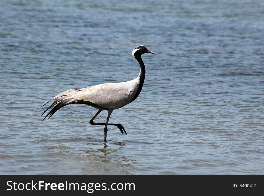 A migratory bird.