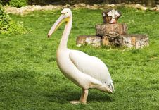 Free Pelican In Zoo Royalty Free Stock Photography - 54997167