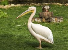 Free Pelican In Zoo Stock Images - 54997174