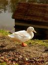 Free White Duck Royalty Free Stock Photo - 552765