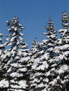 Free Winter Fir Trees Royalty Free Stock Photos - 559638