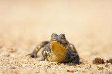 Free Baby Caiman Royalty Free Stock Photos - 550388