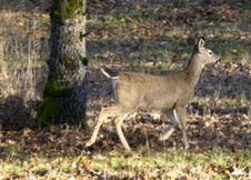 Free Young Deer Running Stock Photos - 550483