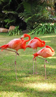 Free Flamingo Trio Royalty Free Stock Images - 550559