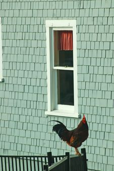 Rooster By The Window