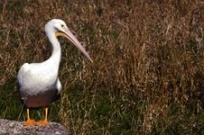 Free Pelican Watch Royalty Free Stock Photo - 550775