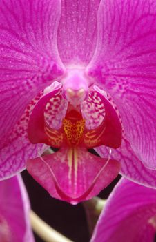 Free Orchid Phalenopsis Royalty Free Stock Photo - 550785