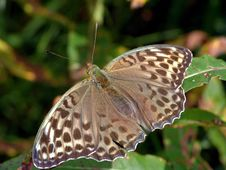 Free Argynnis Paphia. Stock Images - 551004