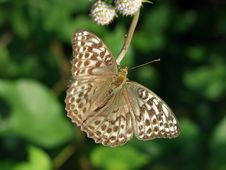 Free Argynnis Paphia. Royalty Free Stock Images - 551059