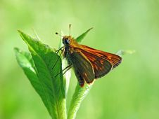 Free The Butterfly Of Family Hesperiidae. Stock Photography - 551062