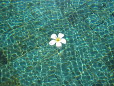 Free White Frangipani In Pool Royalty Free Stock Images - 551179