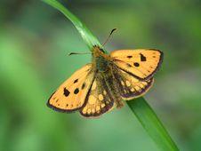 Free Pamphila Silvius. Stock Image - 551561