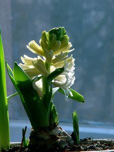 Free Hyacinth Royalty Free Stock Photos - 551628