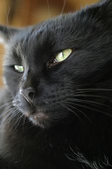 Free Black Cat Portrait Royalty Free Stock Photo - 552555