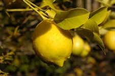 Free Lemon Tree Drip Stock Photography - 552842