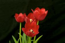 Free Red Tulips Stock Image - 552881