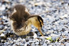 Free Baby Duck Royalty Free Stock Photo - 553025