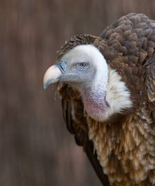 Free Vulture Portrait Stock Photo - 553310