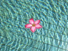 Free Pink Frangipani In Pool Royalty Free Stock Photo - 554035
