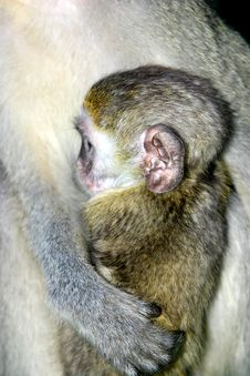 Free Baby Monkey Royalty Free Stock Photography - 554147