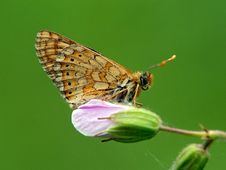 Free Butterfly Melitaea Sp On A Flower Of A Geranium. Royalty Free Stock Image - 554326